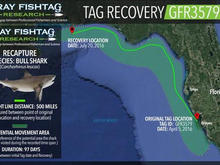 Bull Shark RECAPTURE