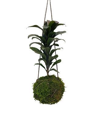 Ti Plant