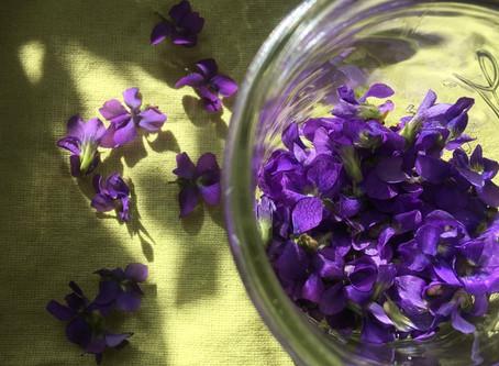 Violet (Violoa sororia)