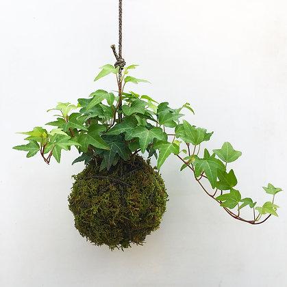 Starling Ivy