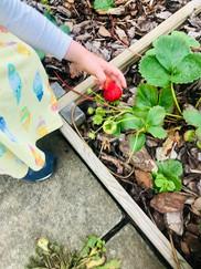 Strawberries grown at Arbor Green