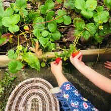 Arbor Green Nursery Strawberries