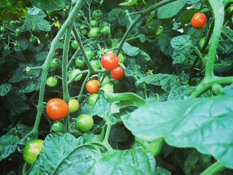 Tomatoes Are Ready