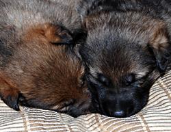 gsd puppy-Rlitter08