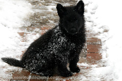 Black German Shepherd puppy in snow