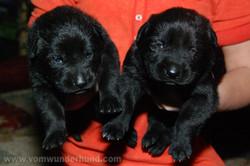 ct-german-shepherd-puppy-14days-16