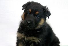 Bicolor German Shepehrd Puppy
