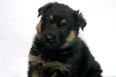 Bicolor German Shepehrd Puppy