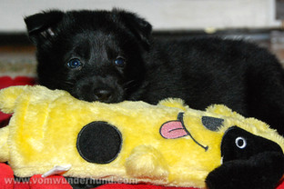 Black German Shepherd puppy with toy