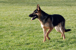Young Black and Red German Shepherd male