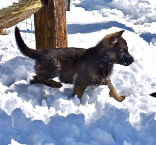 Snow puppy 40 days old