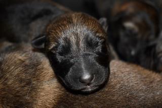 Newborn German Shepherd puppy