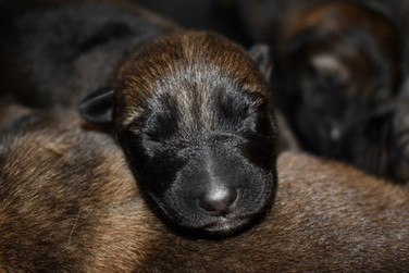 Newborn German Shepherd puppy