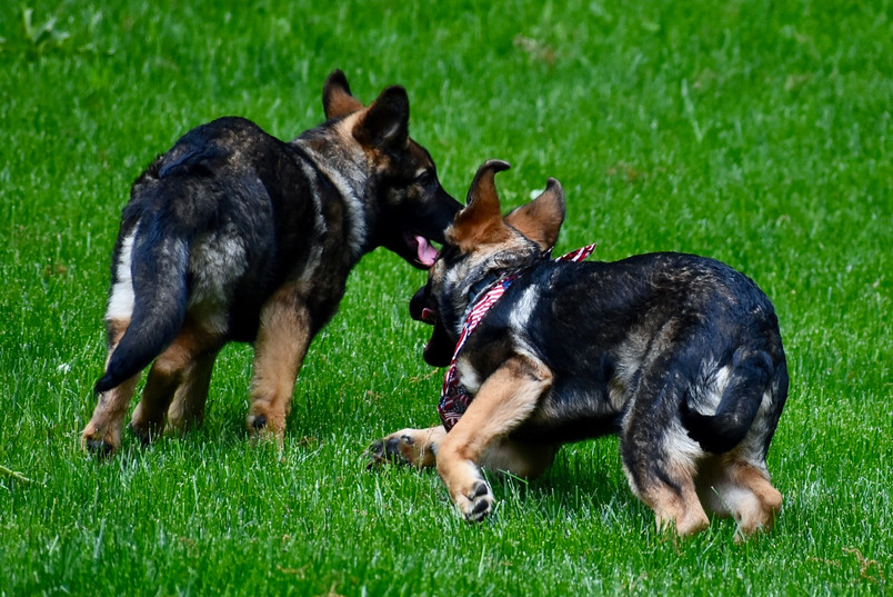 Canine defense and escape behaviors