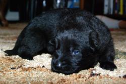 ct-german-shepherd-puppy-14days-06