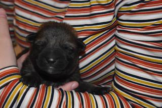 4-day old German Sheherd puppy
