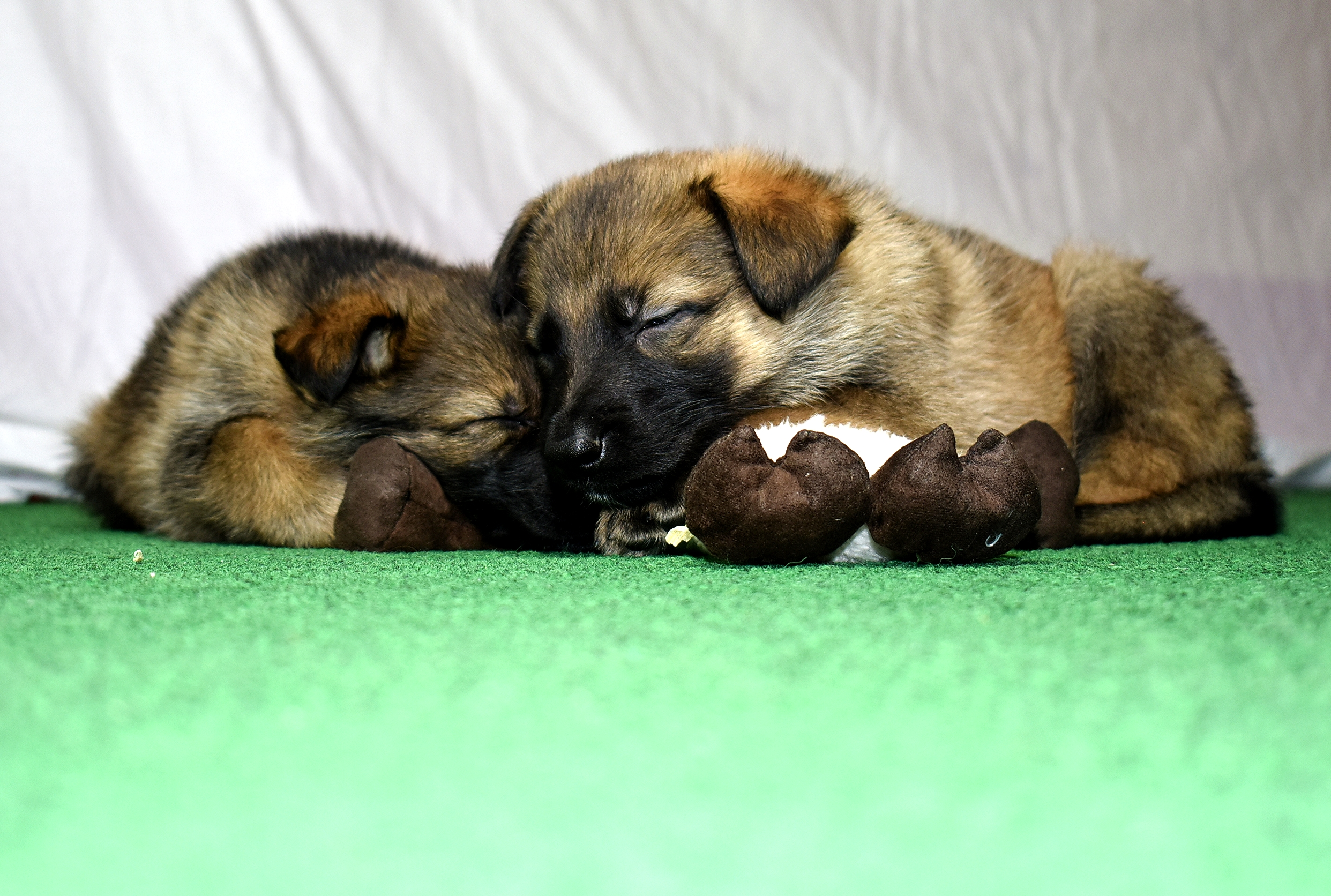 DSC_4022 -2018Feb17-puppies-Day39b---