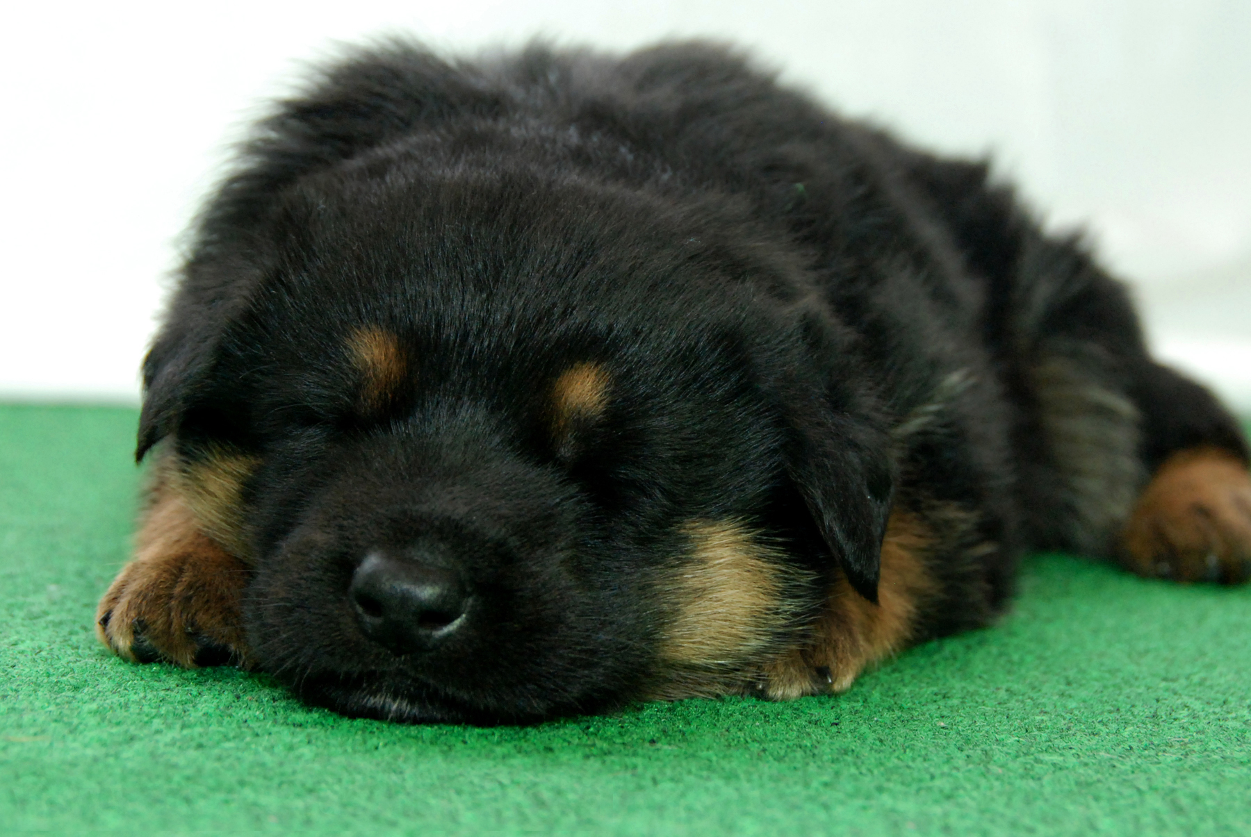 00CT-GermanShepherdDog-23day-W12