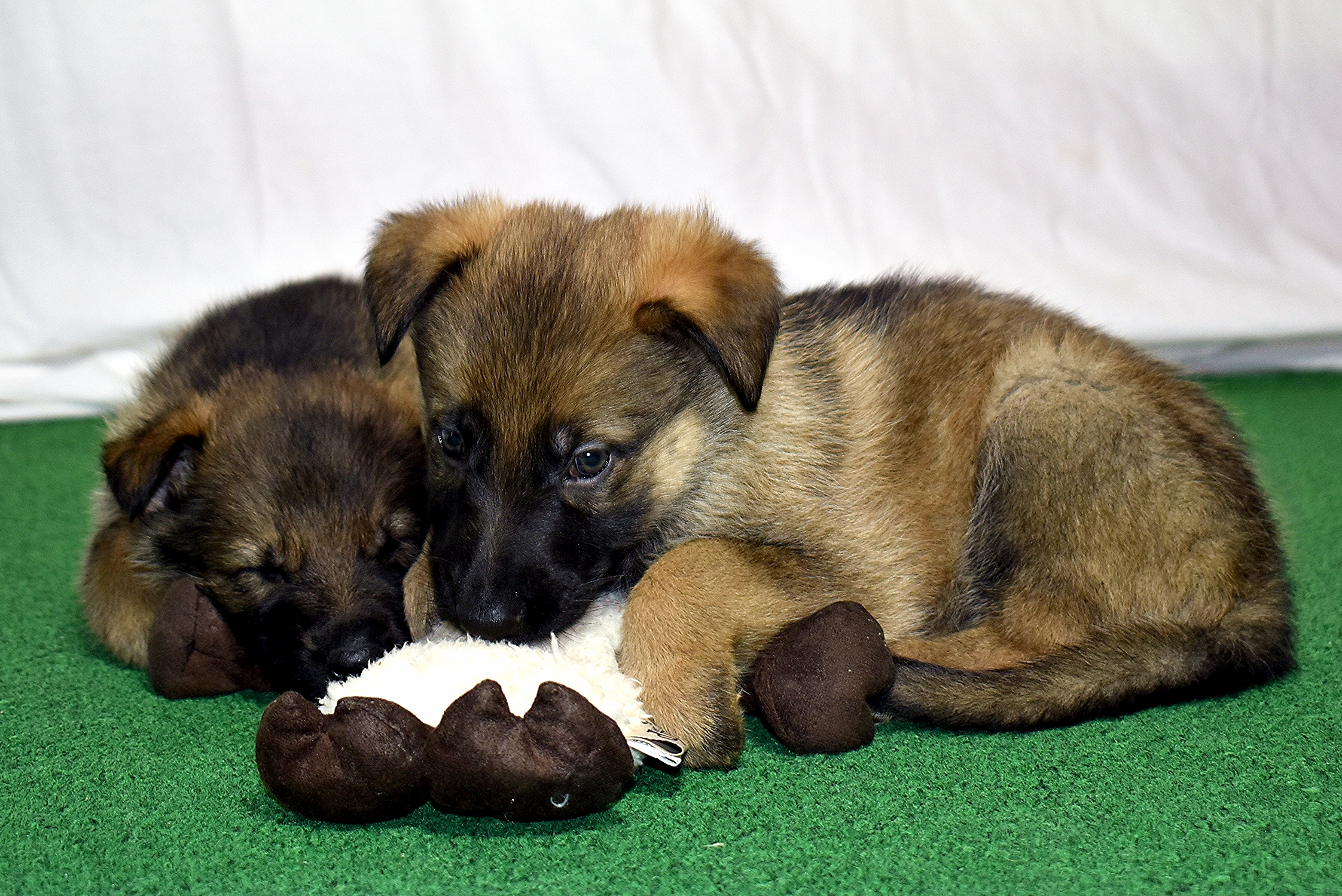 DSC_3998 -2018Feb17-puppies-Day39b---