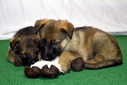 DSC_3998 -2018Feb17-puppies-Day39b---