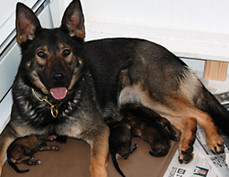 Sable German Shepherd litter