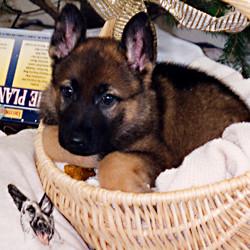 german_shepherd_puppy_03