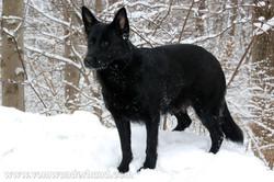 ct-german-shepherd-puppies-day49-12