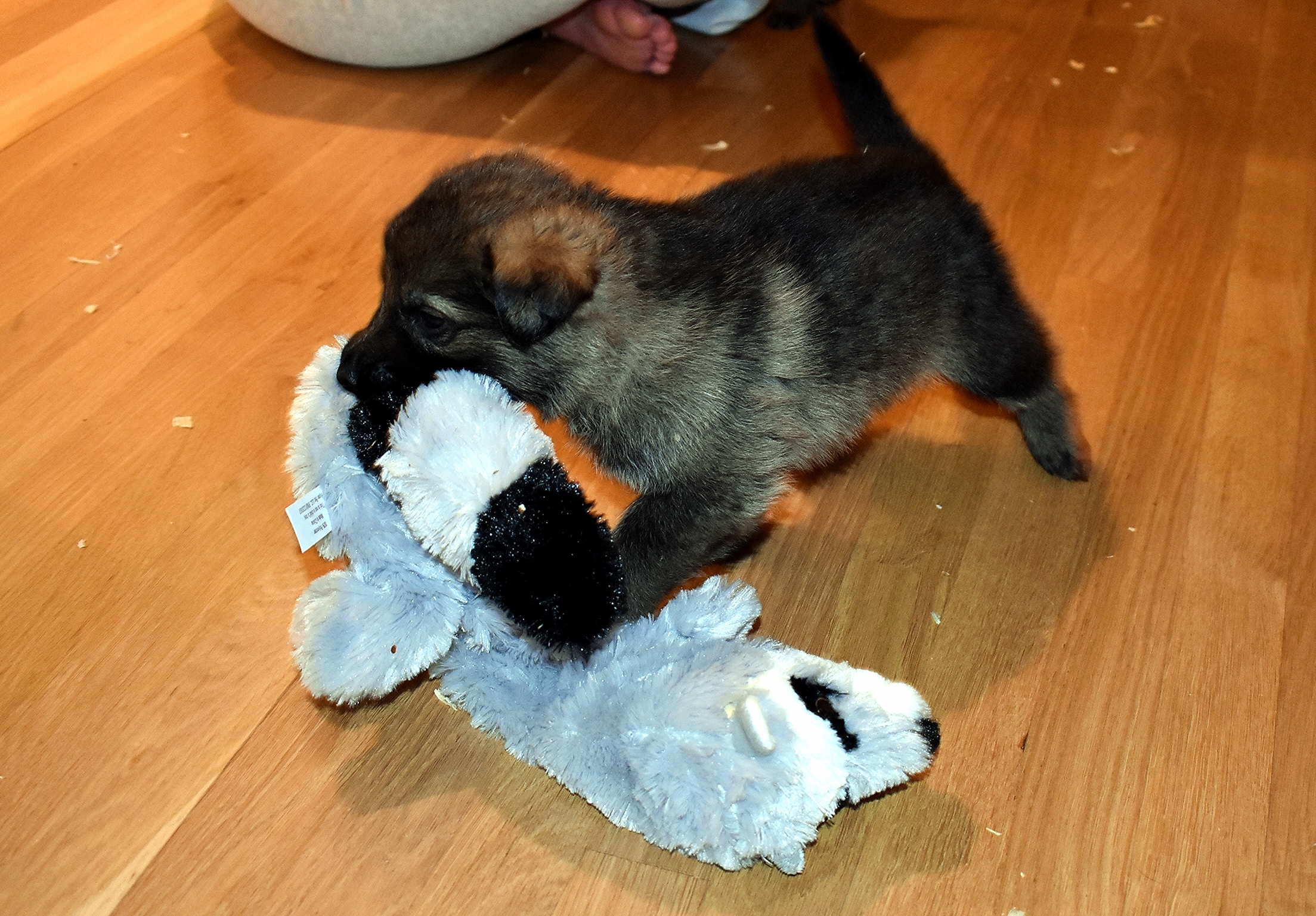 DSC_3347-2018Feb09_GSDpuppies-1mth