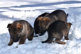 40-day old German Shepherd puppies in the snow