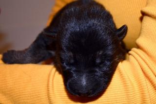 One-week old German Shepherd puppy