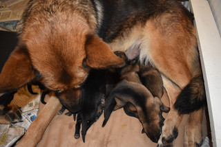 Newborn German Shepherd puppies