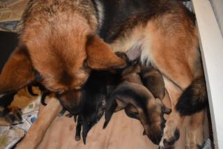 Newborn German Shepherd puppies
