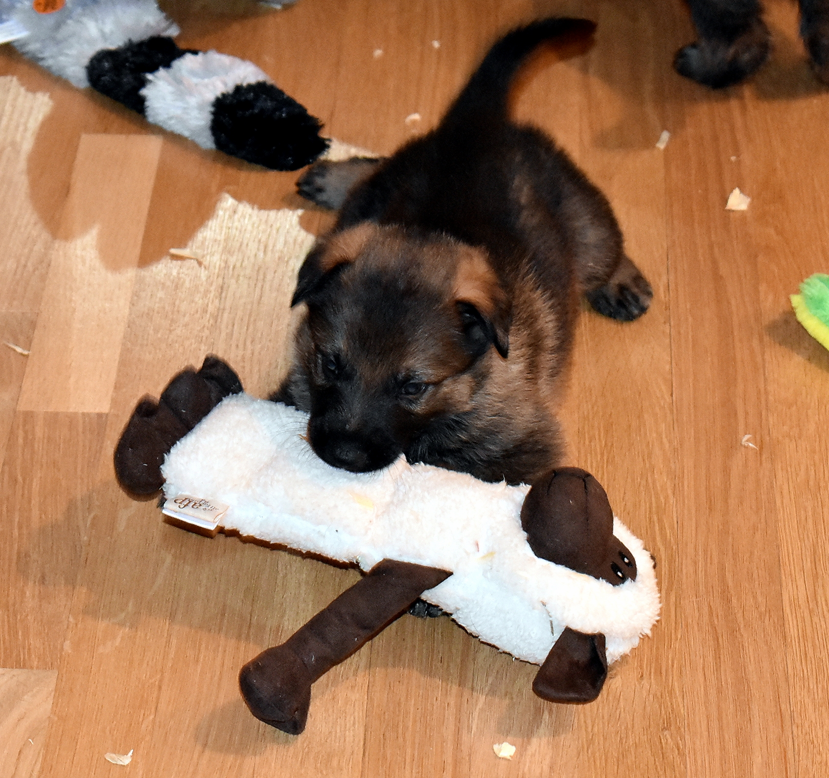 DSC_3384-2018Feb09_GSDpuppies_1mth