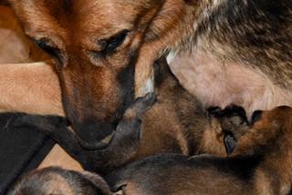 One-week old German Shepherd puppies