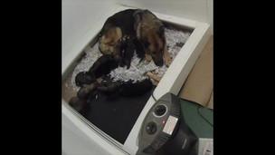 Newborn German Shepherd Puppy development