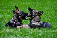 Canine agnostic behavior