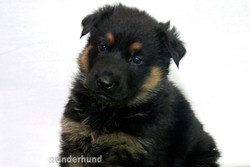 48-day old Bicolor Shepherd puppy