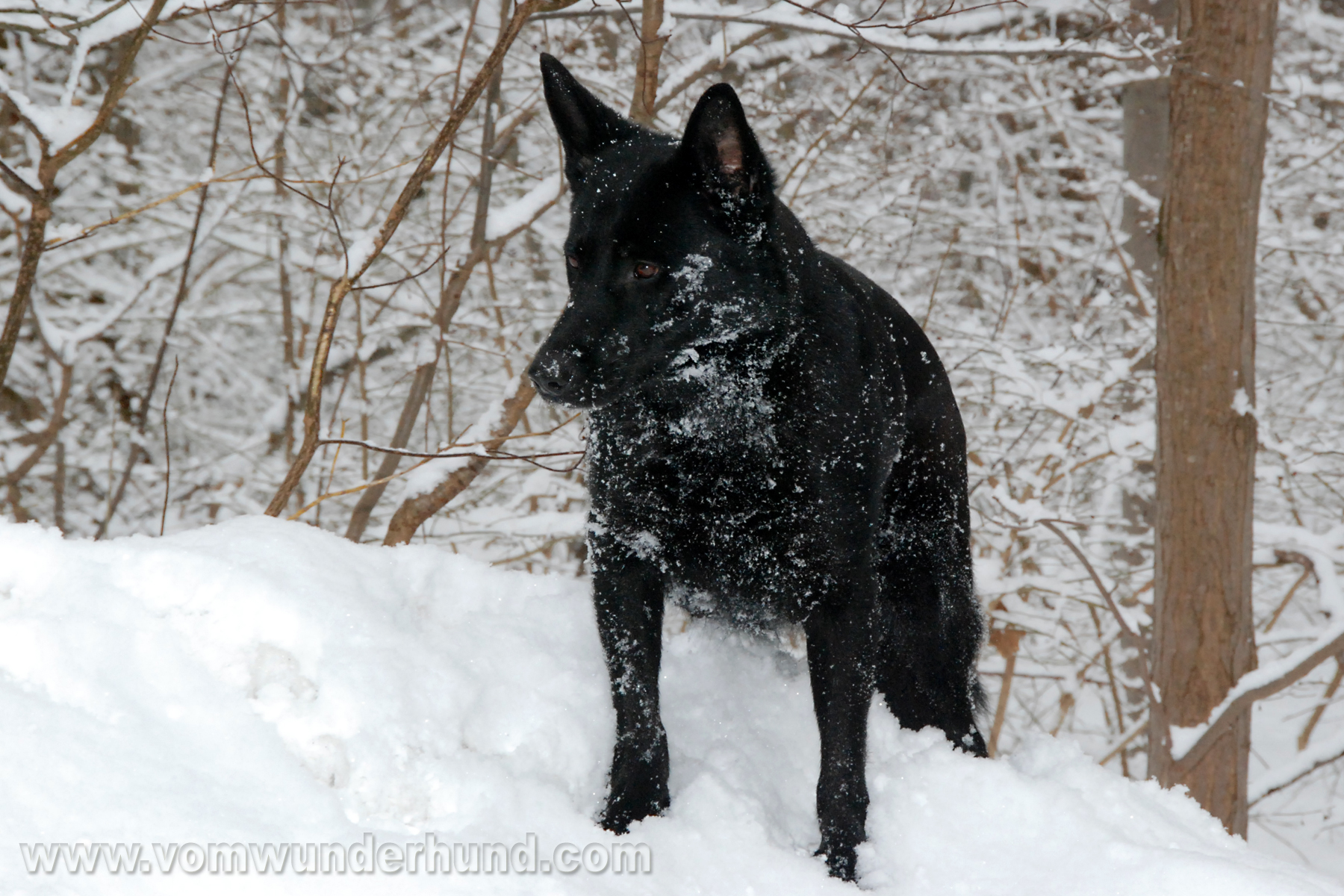 Black German Shepherd Dog in snow