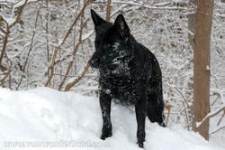 Black German Shepherd Dog in snow