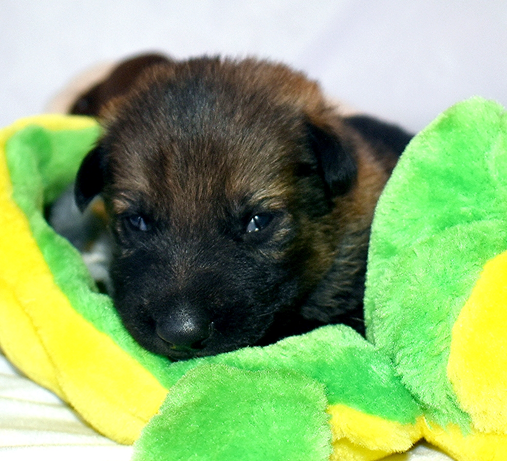 16-day old German Shepherd puppies