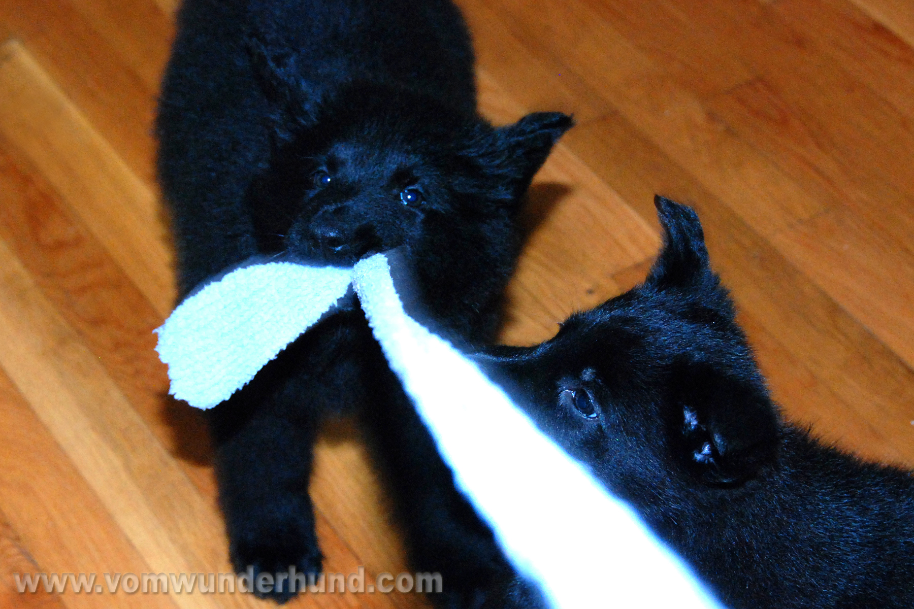 ct-german-shepherd-puppies-day50-15