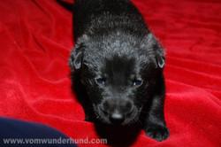 ct-german-shepherd-puppiesday-day21-02
