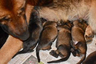 Shepherd puppies day 1