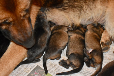 Shepherd puppies day 1