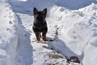 Snow puppy running