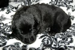 ct-german-shepherd-puppy-15days-11