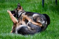 Puppy play behavior