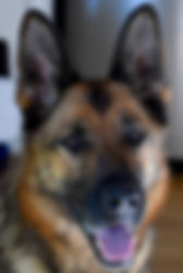 Wundehund German Sheherd Female