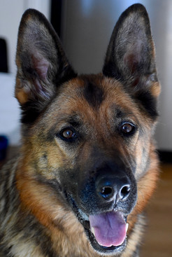Beautiful female German Shepherd Dog