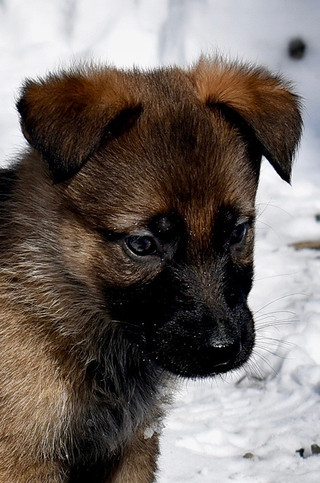 40-day old German Shepherd puppy in the snow